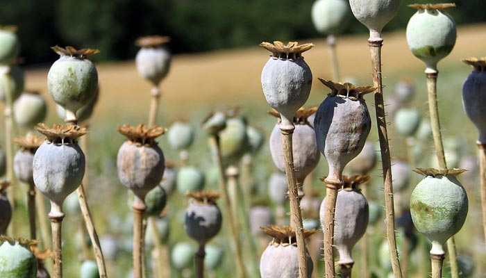 Opium poppies, which the drug fentanyl is derived from. Fentanyl may be legal for some people but it's certainly not safe.