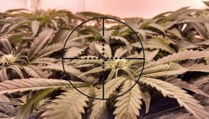 Dug testing in Queensland workplaces and roadsides has cannabis in its sights.